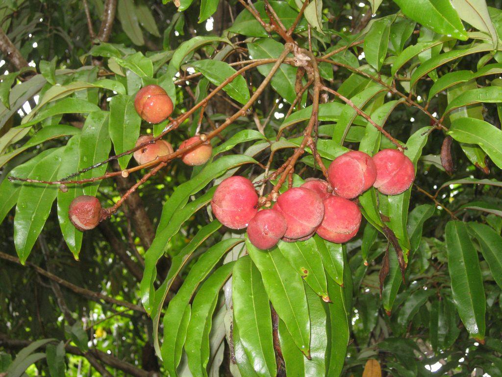 ebc 46 extrait de la fontainea picrosperma est un anti cancer naturel puissant comme les amandes amères d'abricot, l'artemisia annua ou les feuilles de graviola corossol